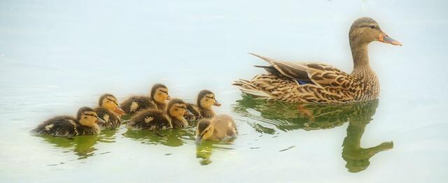mallard-ducks-